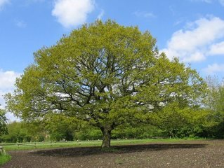 This image has an empty alt attribute; its file name is aaa-oak-tree-1-1.jpg